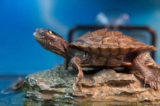 Types of Aquatic Water Turtles - How to Select a Pet